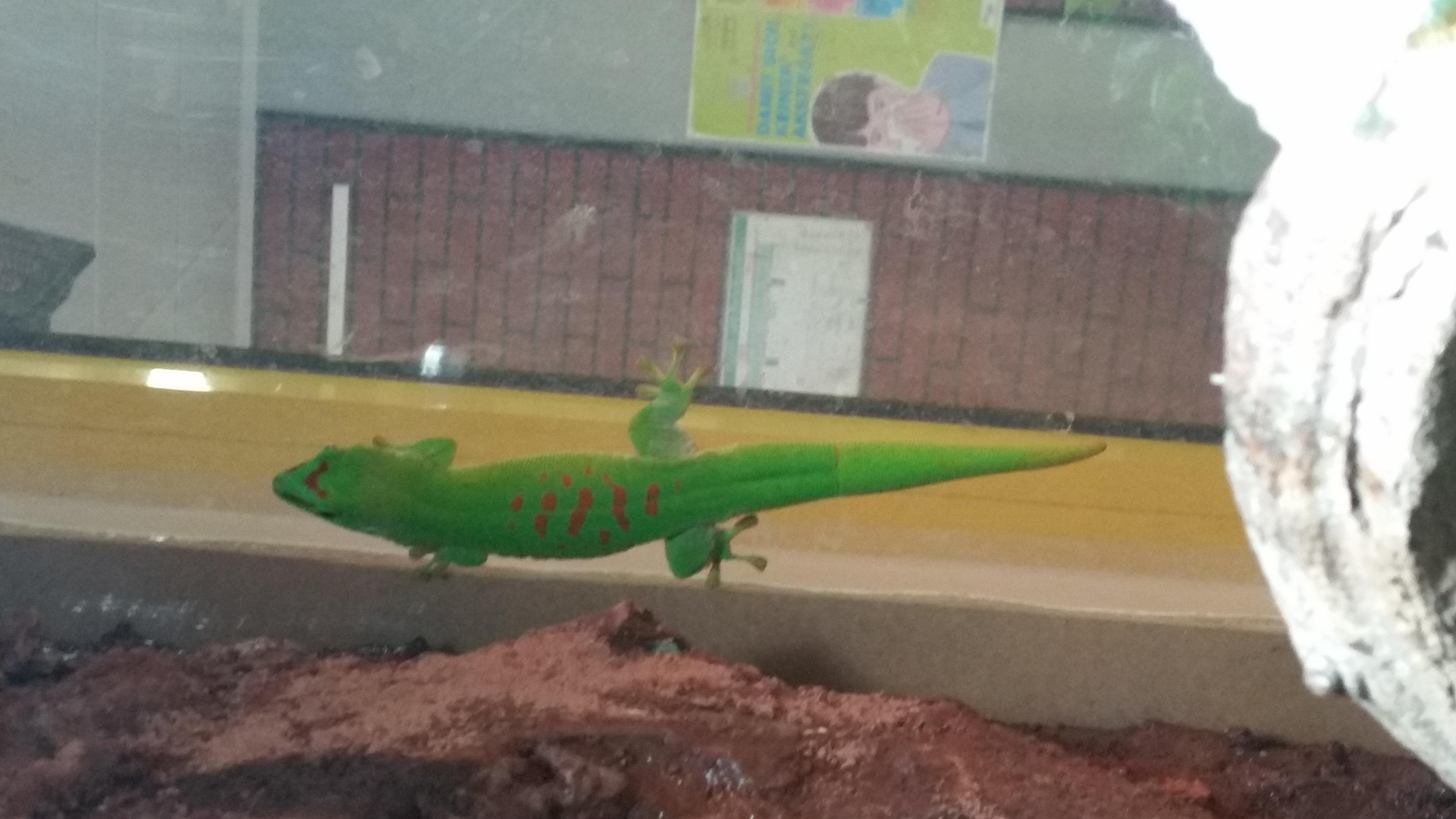 Gecko Josy